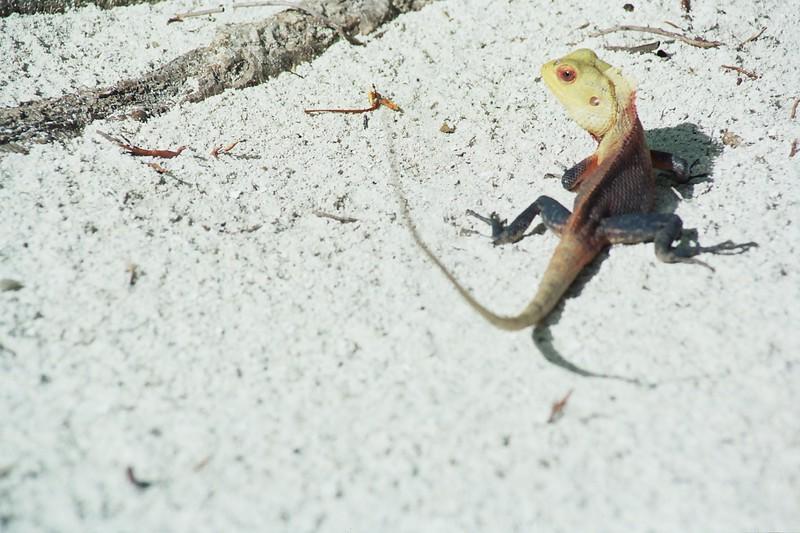 Chameleon maldives june 2004.jpg
