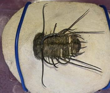 #8203 Ceratonurus sp. (6,1 cm)