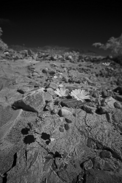 daisy-in-the-desert-death-valley.jpg