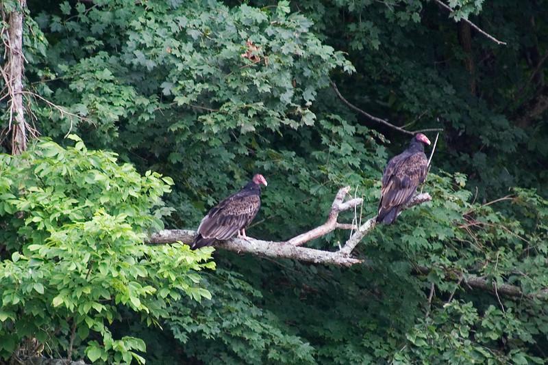 Turkey Vulture 2.jpg