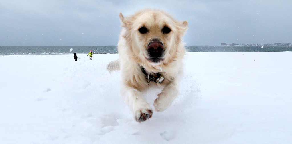 . Crystal, a golden retriever, dashes through the snow as she gets away from Danielle Reid, who was walking dogs with her mom, at Revere Beach in Revere, Mass., Monday, Jan. 26, 2015.  New England is bracing for a blockbuster blizzard threatening more than 2 feet of snow, hurricane-force winds, coastal flooding and widespread power outages. (AP Photo/Charles Krupa)