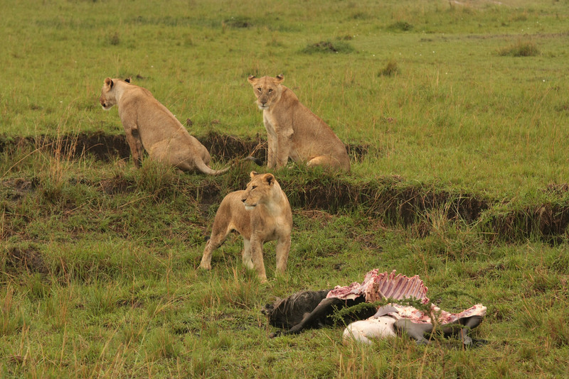 Lions with a wildebeest kill.