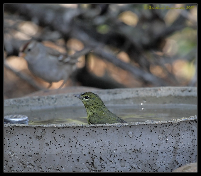 Orange-Crowned Warbler taking a bath, The Drip, Cabrillo National Monument, San Diego County, California, November 2009