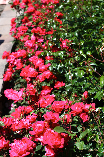 Portland International Rose Test Garden  2228.jpg