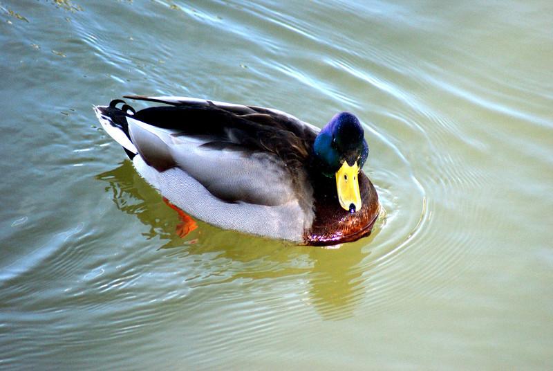 A male mallard going for his mid-day swim