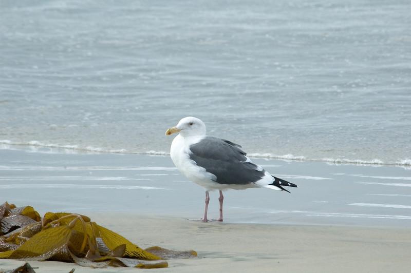 Gull - Western - San Diego, CA