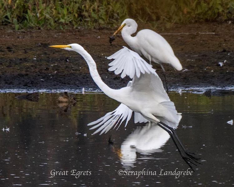 _DSC9224Two egrets b.jpg