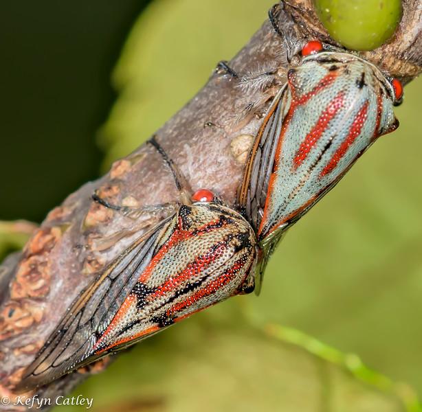 HEMIPTERA: Membracidae: Platycotis vittata, oak treehopper