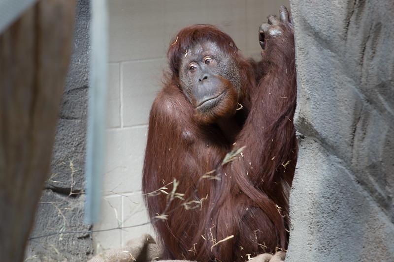 Orangutan-0643.jpg