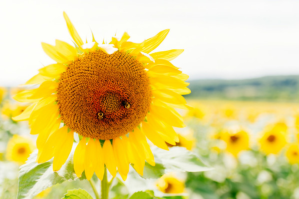 2014-08-16 - Sussex Co (Sunflowers)