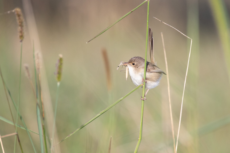 Female red-backed fairy-wren, Sunshine Coast