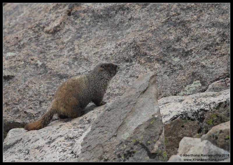 Yellow-bellied Marmot, Mount Evans, Colorado, June 2016
