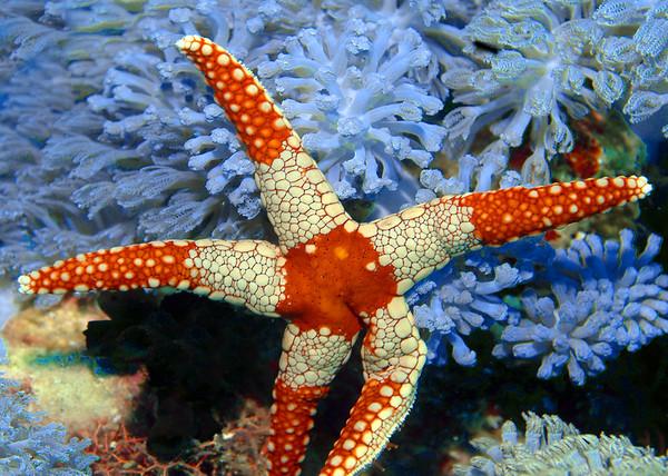 Starfish - various