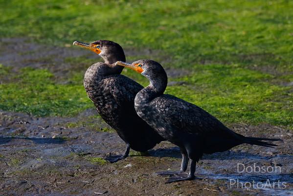 Cormorants and  Darters (Anhingas)