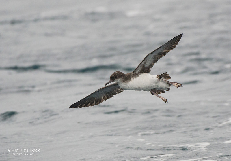 Fluttering Shearwater, Wollongong Pelagic, NSW, Aus, Jun 2012.jpg