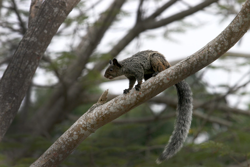 Ecuador has squirrels too.  This critter is about twice the size of the ones I'm use to seeing in the US.