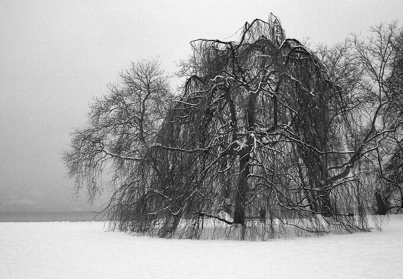 Frozen Tree - Cham, Switzerland