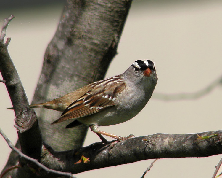 white_crowned_sparrow_1226.jpg