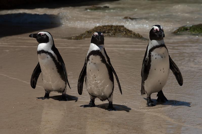 African Penguins, Boulders Beach, Simons Town