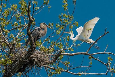 Herons & Egrets