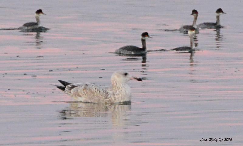 Herring Gull and Eared Grebes  - 12/29/2014 - 13th Street Imperial Beach