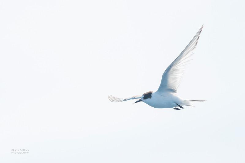 Arctic Tern, Eaglehawk Neck Pelagic, TAS, Dec 2019-2.jpg