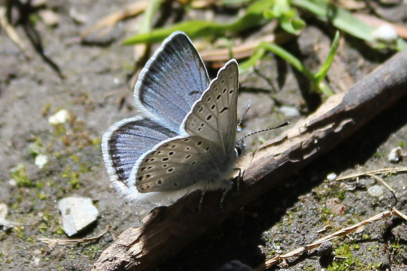 Greenish Blue (Plebejus saepiolus) male.