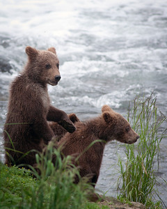 Brown bear cubs along a shoreline