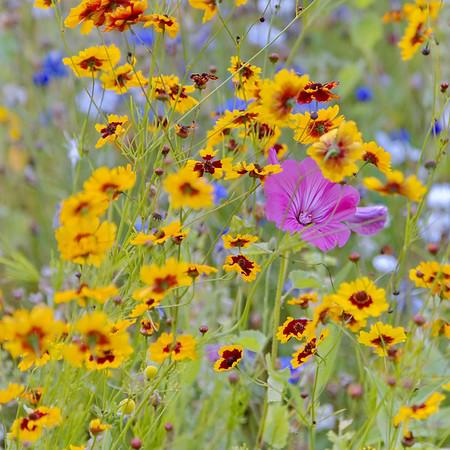Fleurs des champs - couleur jaune