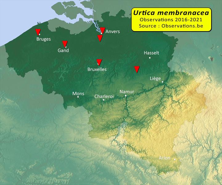 Urtica membranacea Belgique.jpg