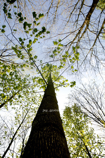 The long and straight trunk of a Tulip Tree (Lirodendron tulipifera) at Douglas-Hart Nature Center in Mattoon on May 5, 2008. (Jay Grabiec/Staff Photographer)