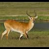 Red Lechwe Bull, Moremi, Botswana, 2010