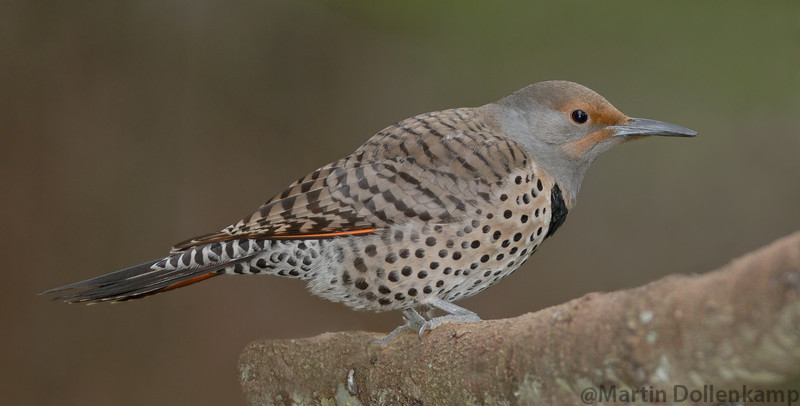 Northern Red Shafted Flicker female