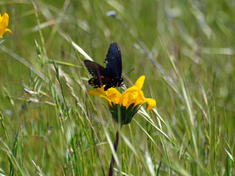 Butterfly on flower in Lake California