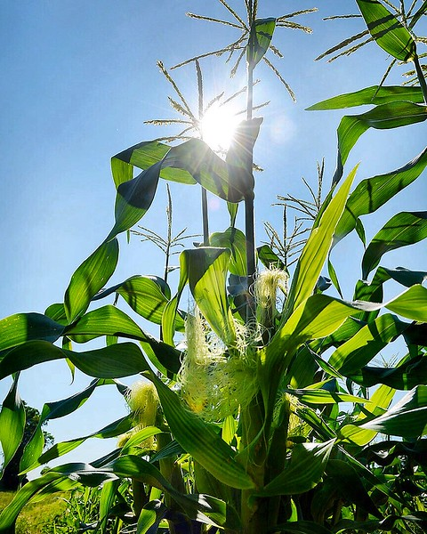[Jack Haley/Messenger Post Media]According to Chip White it has been the lack of sunshine more than the rain that has slowed the growth overall of this years sweet corn crop.