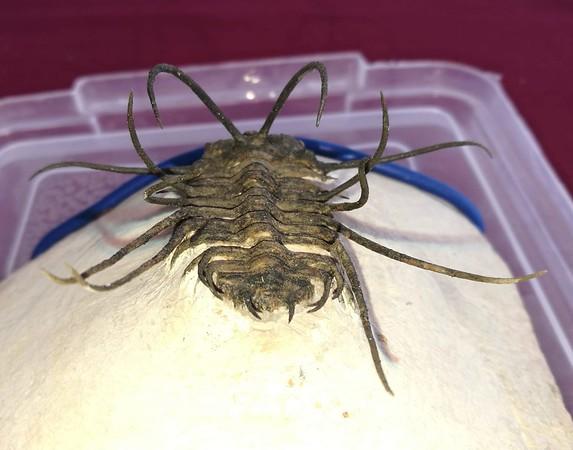#8202 Ceratonurus sp. (7,2 cm)