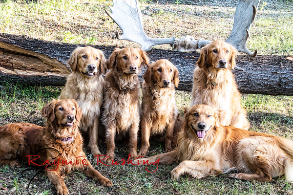 Golden Puppies turn Two