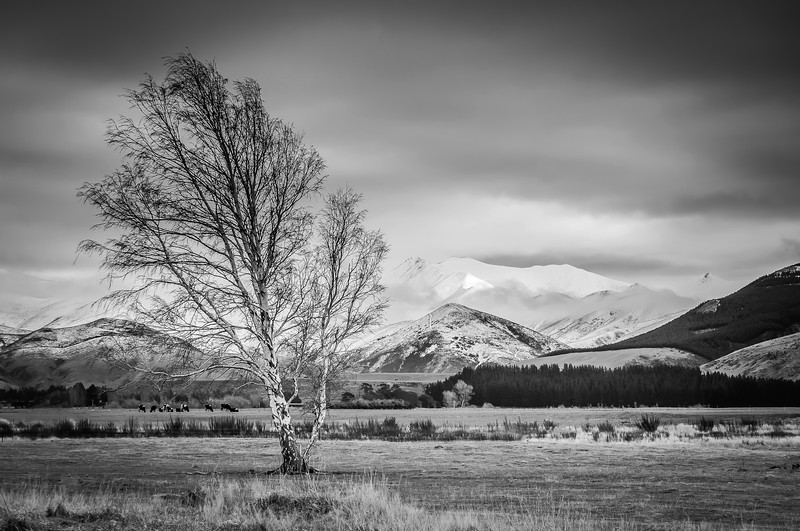lonely-tree-bw-new-zealand.jpg