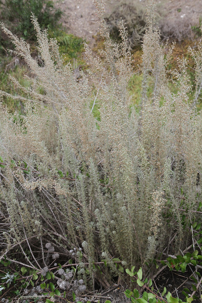 California Sagebrush, Artemisia californica