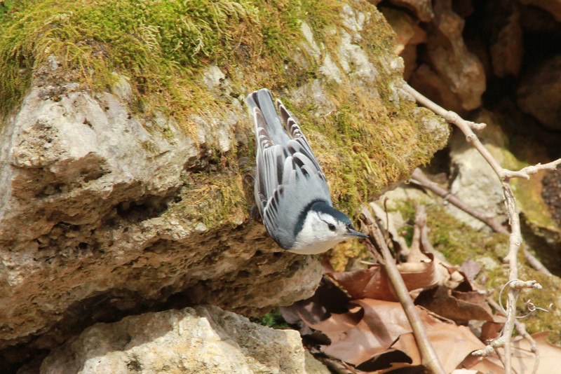 White-breasted Nuthatch @ Rockwoods Reservation