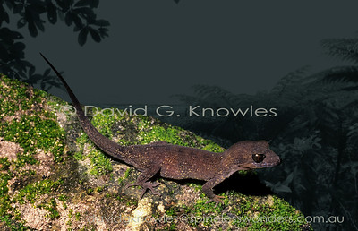 New Guinea Lizards Gekkonidae (Geckos)