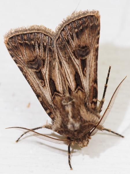 Swordsman Dart Moth (10648: Agrotis gladiaria)