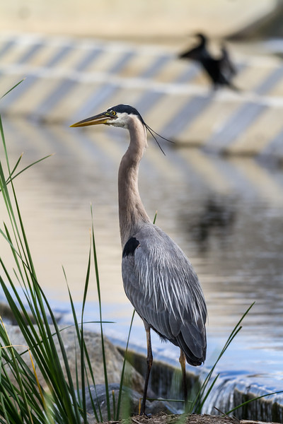 A great blue heron sits in a marshy area of the Santa Ana River in Orange, California