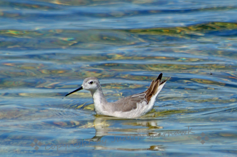 Wilson's Phalarope on Mono Lake ~ Thousands of phalaropes come to Mono Lake, feeding on the swarming alkalai flies.  This one has lost its colorful breeding plumage, and is back to its lighter, plainer, winter plumage.