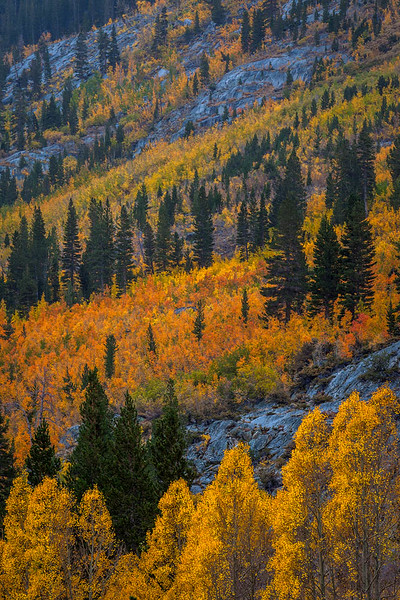 Bishop Canyon Autumn Pines.jpg