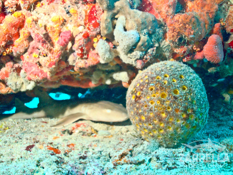 """Nurse Shark Hiding in Cave"" (Proselyte Wreck, St. Maarten)"