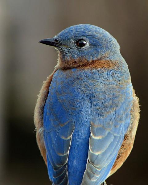 bluebird_2211.jpg