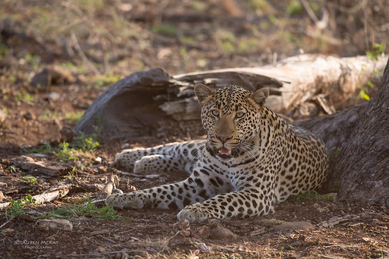 Leopard, Madikwe GR (Imp), SA, Sept 2015-1.jpg