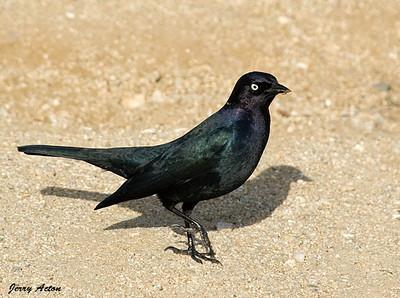 Blackbird - Brewers