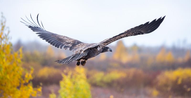 Bald Eagle CR7 Sax-Zim Bog MN IMGC7837.jpg